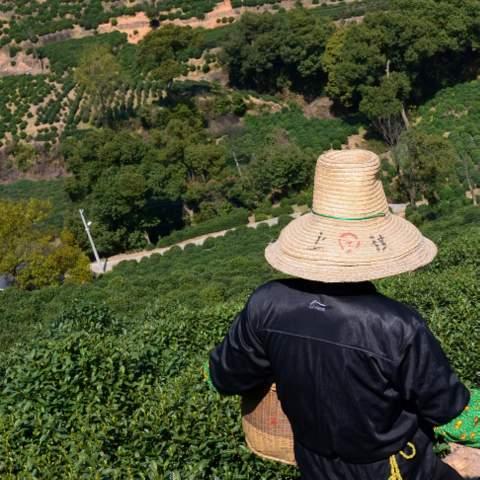 green tea garden impression by cha-shifu (21).JPG
