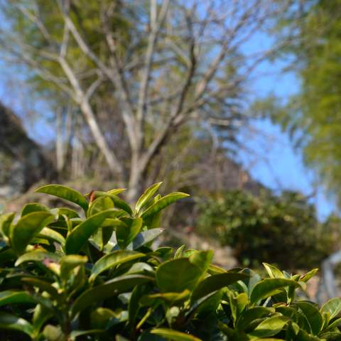 green tea garden impression by cha-shifu (23).JPG