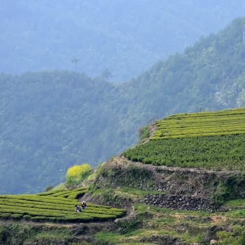 green tea garden impression by cha-shifu (27).JPG