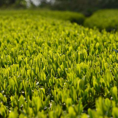 green tea garden impression by cha-shifu (28).JPG