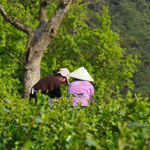 green tea garden impression by cha-shifu (31).JPG