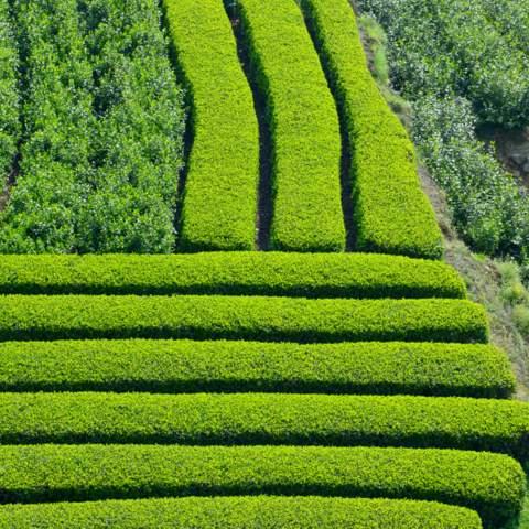 green tea garden impression by cha-shifu (30).JPG