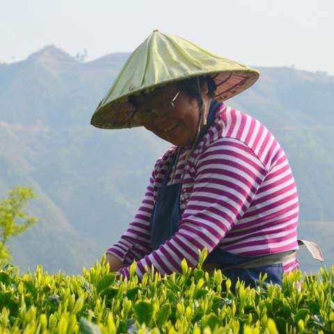 green tea garden impression by cha-shifu (32).JPG