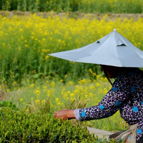 green tea garden impression by cha-shifu (33).JPG