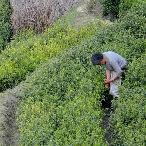 green tea garden impression by cha-shifu (34).JPG
