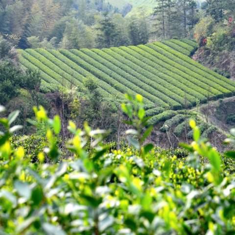 green tea garden impression by cha-shifu (37).JPG