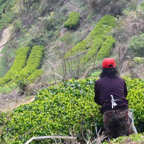 green tea garden impression by cha-shifu (38).JPG
