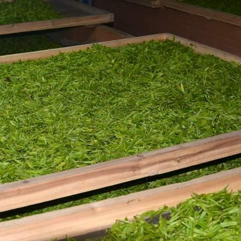 green tea garden impression by cha-shifu (39).JPG