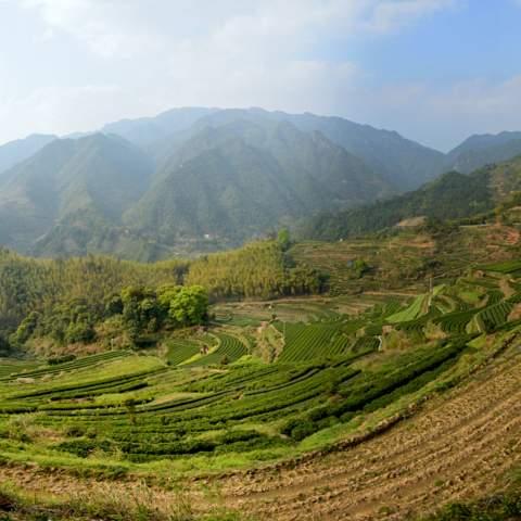 green tea garden impression by cha-shifu (41).JPG