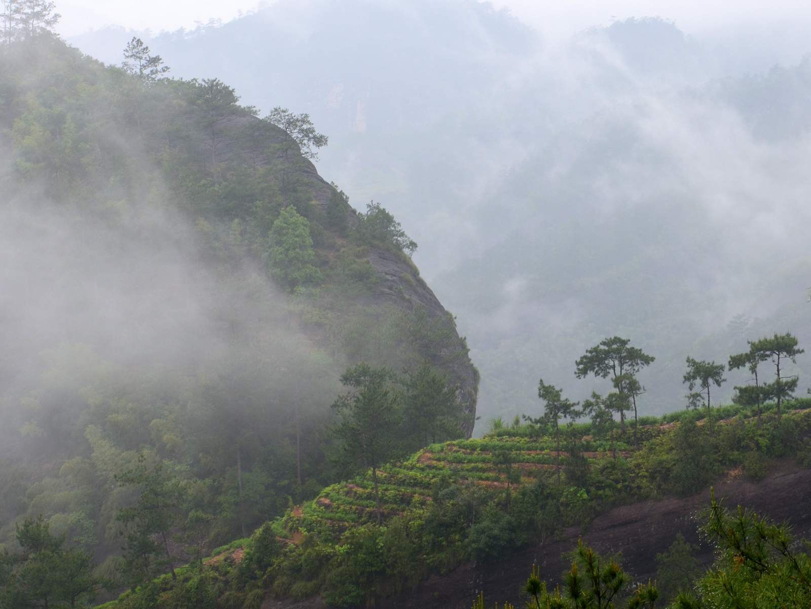 Wuyi Mountain area is genial in weather, warm in winter and cool in summer, belonging to the subtropical area, with an average temperature range of 18 to below 18 degree Celsius. The volume of rain is abundant, with an annual rainfall of 2000 millimeters and an annual degree of humidity of 80%. The vegetation is lush and all year round the cloud and mist is perennially widespread. The tee trees are able to bear shadows and like the sunshine in both morning and evening in the remote mountains, hindered by the rocks of facing steady sunlight.