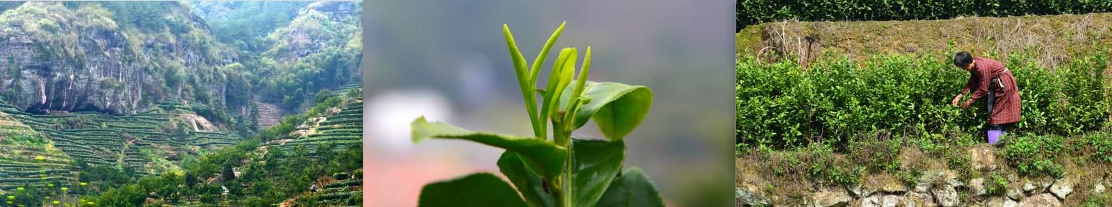 Green Tea Fresh 2015 First Flush Ming Qian China rarest specialities
