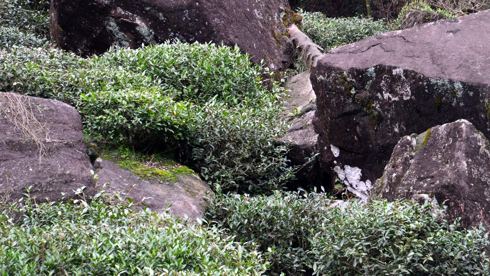 Wuyi Yancha box, the rock tea experience by cha-shifu.cm based on crafted and pure traditional processing (14).JPG