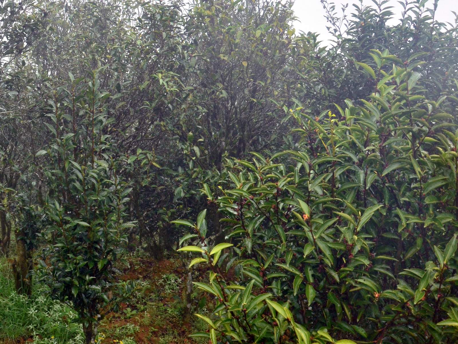 Honey Orchid, Shui Xian Almond, Duck Shit an Chicken case Dancong Oolong ur tea is harvested and processed in a small village between Fenguang town and Wudong Mountain by Cha-Shifu.com (7).JPG