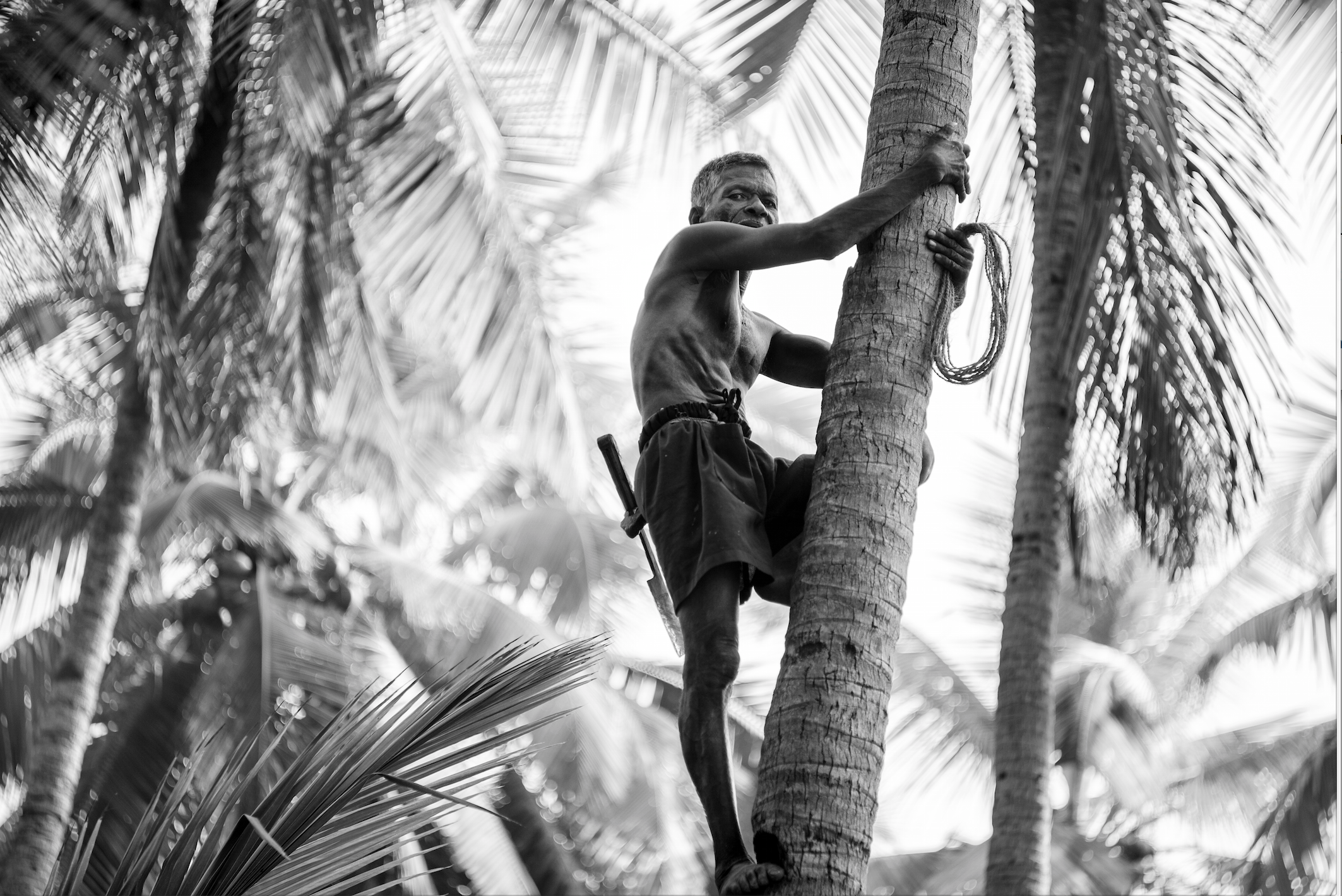 Leica M 240 90mm summicron pre-asph An untouchable makes a meek living bravely climbing 30m+ high coconut trees. Safety equipment consists of rope around the feet and experience.  The economics of the transaction are astounding - roughly 10 usable coconuts per sold on average for 50 ( $0.80US ) rupees. That sum is then divided by 6 ( boss, scouter, 2 people to pick coconuts up and two to clean them ).