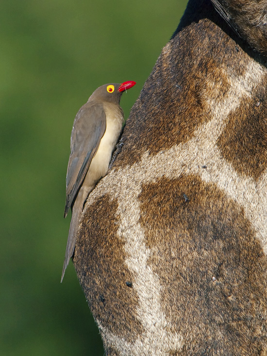 Red billed Oxpicker