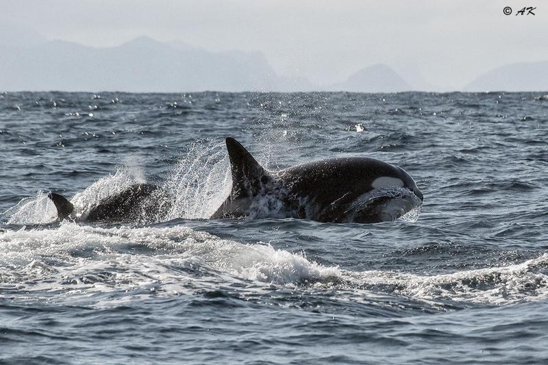 Khiller whale Orca