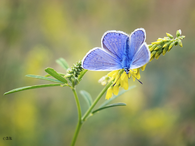 Common bleu