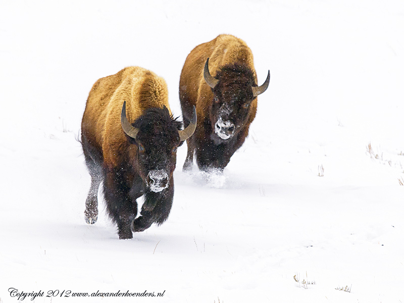 Running Bison