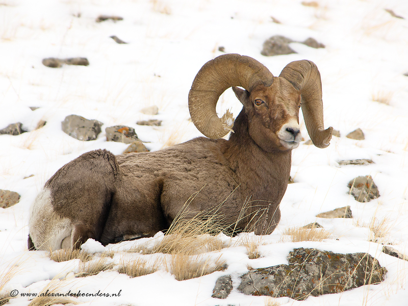 Bog horn sheep Yellowstone
