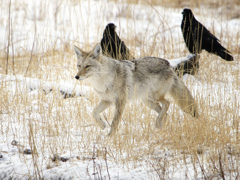 Coyote and ravens