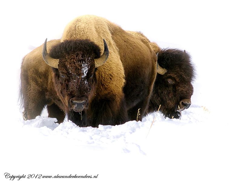 Bisons standing