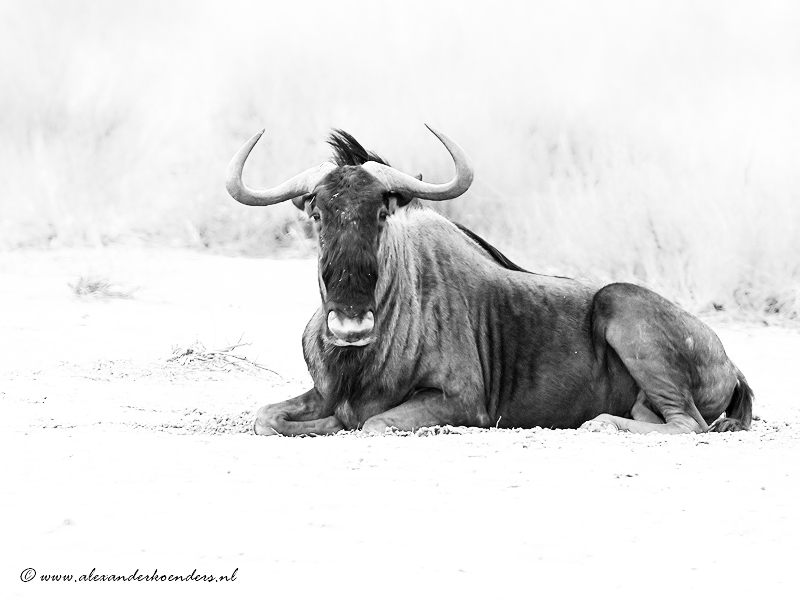 Wilde beast