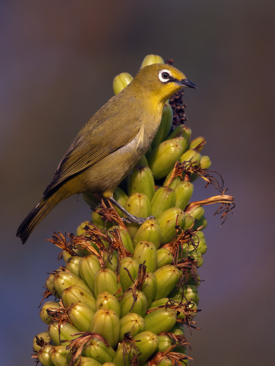 Cape white eye