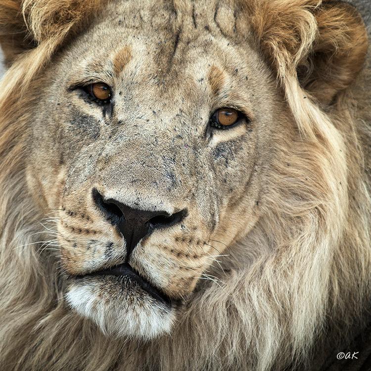Close up lion