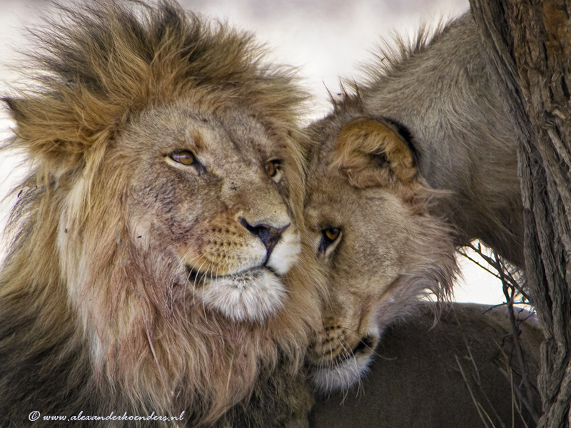 Love between lions