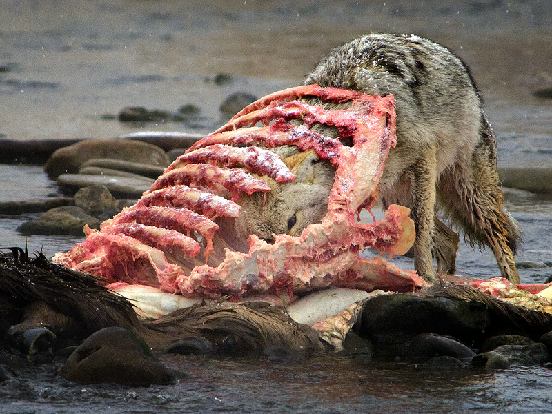Coyote inside a wapiti carcas