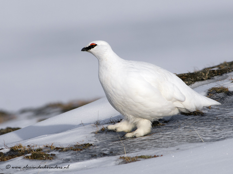 Svalbard grouse