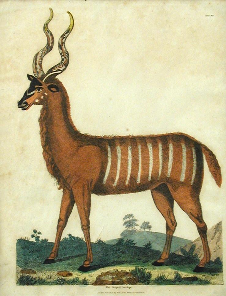 Antelope II.png