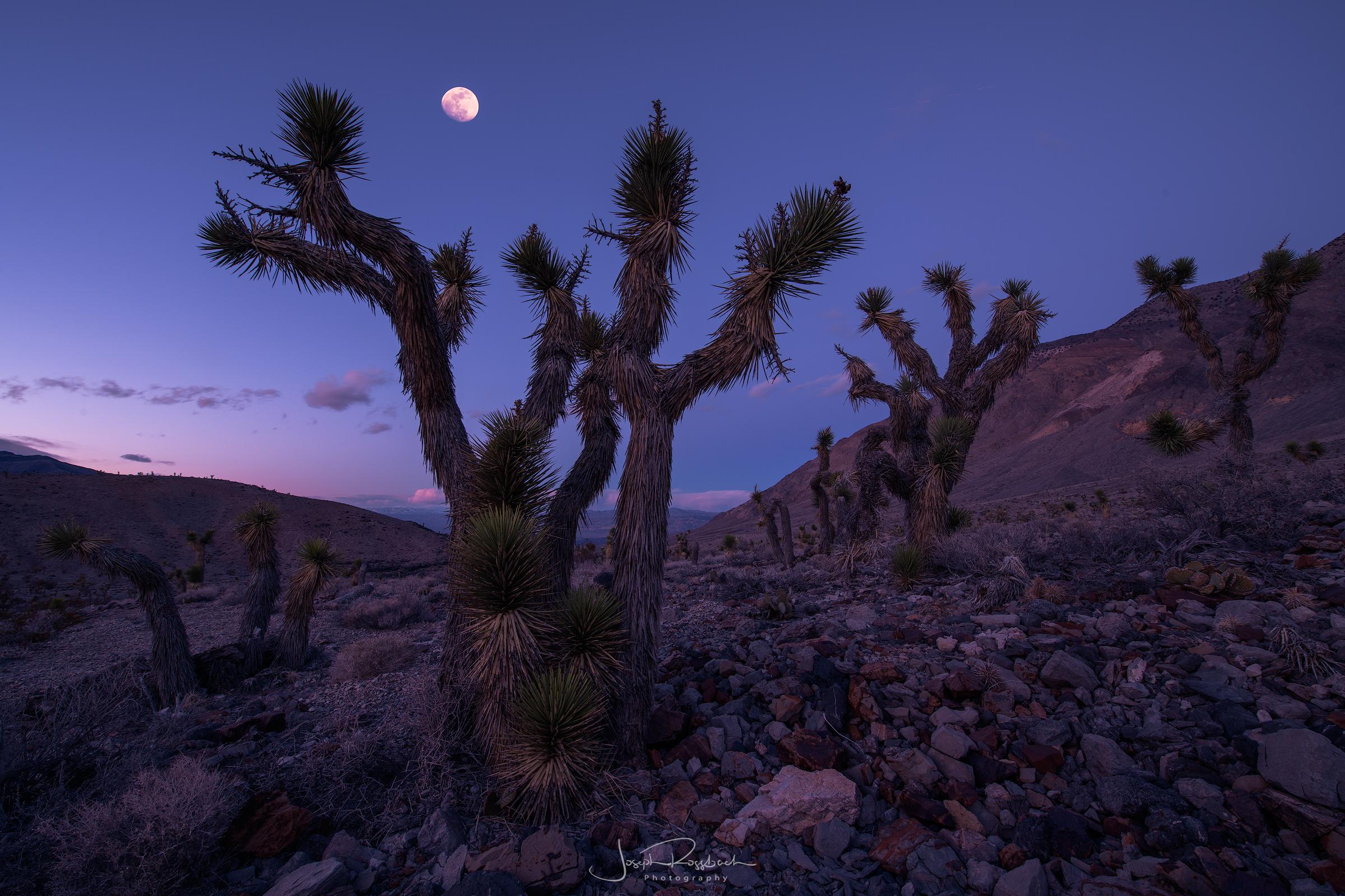 Moonrise above Joshua Trees, Death Valley National Park, California