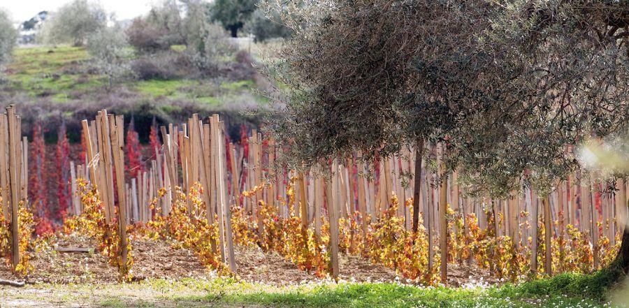 Diano vineyard.jpg