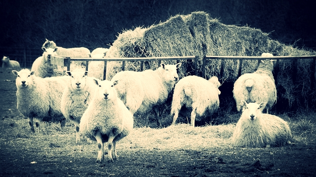 Wool before it is knit
