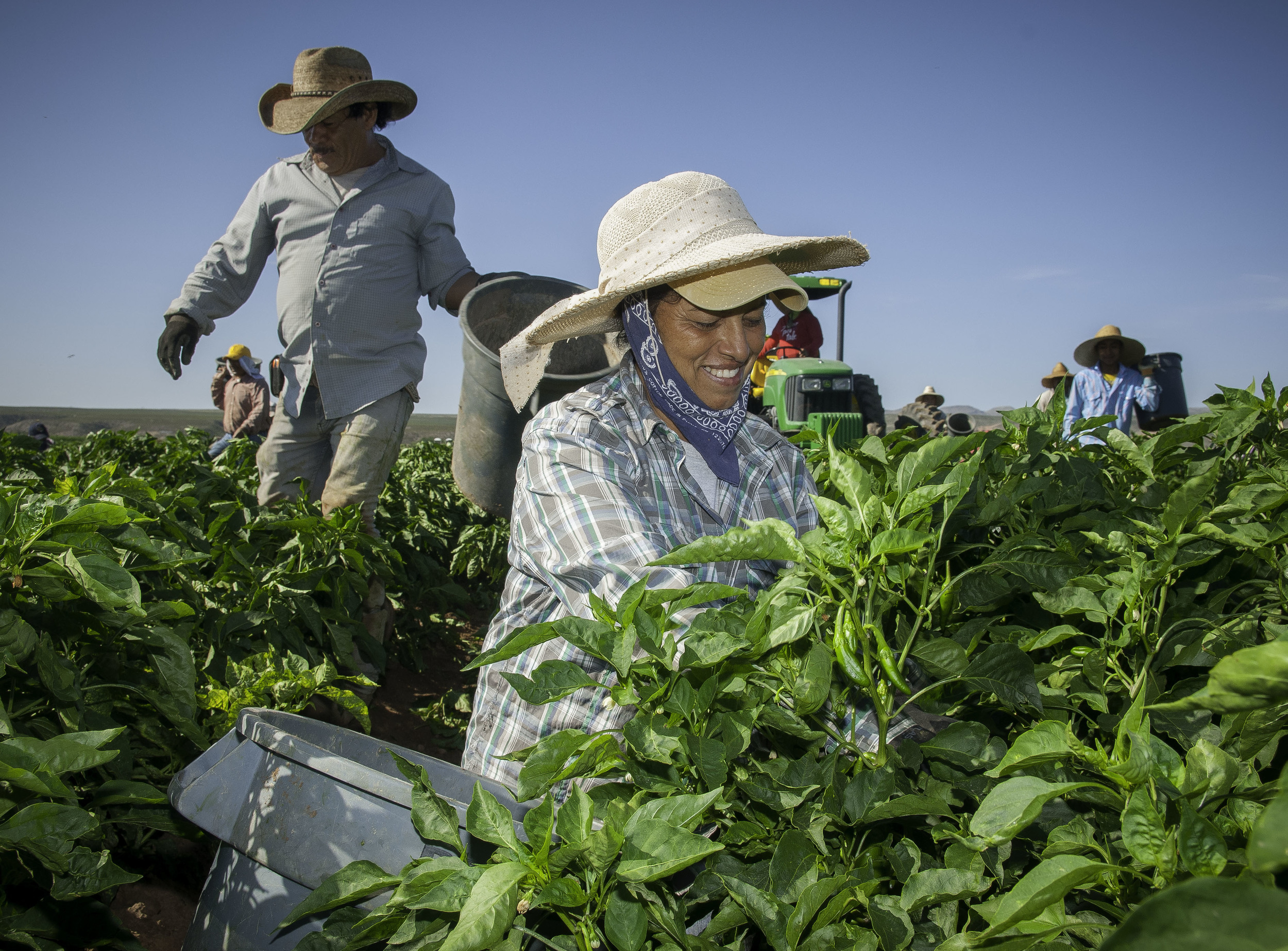 Farm workers harvest chile on the 350-acre Adams Produce farm near Hatch, New Mexico.
