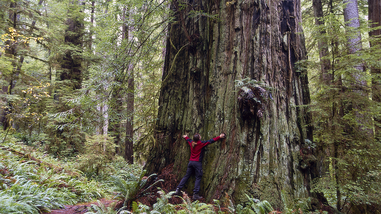 Redwood-AmyGulick