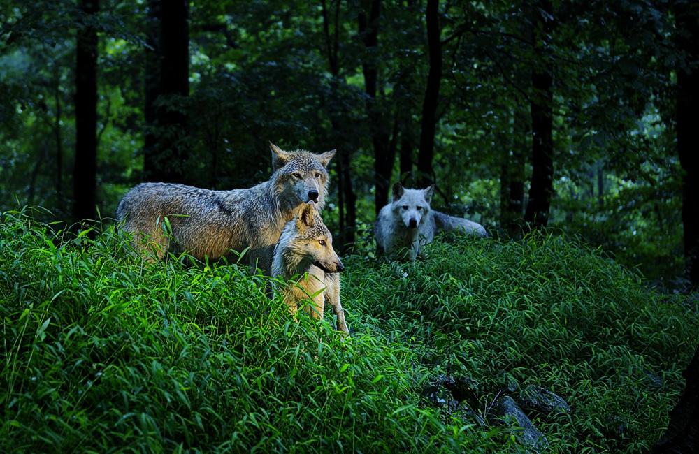 Woodland Wolves  100dpi.jpg