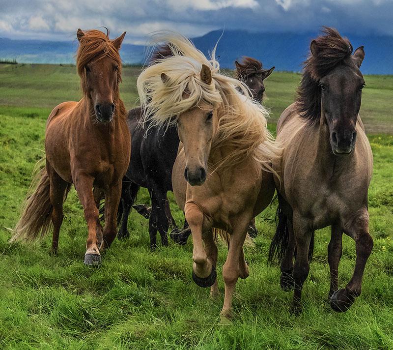 ICELAND HORSES 2014-800px.jpg