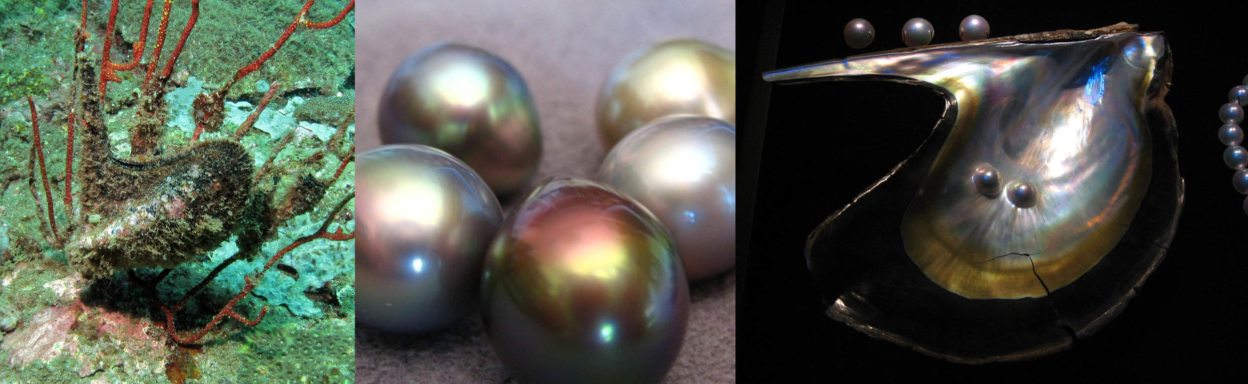 Left: A bivalvia attached to a coral in the gulf of California. Center: Baja pearls in a range of greys with orient-mirrored lusters. Right: The shell of the Baja bivalve has an exaggerated arm that it attaches itself to coral, rock and seabeds with.