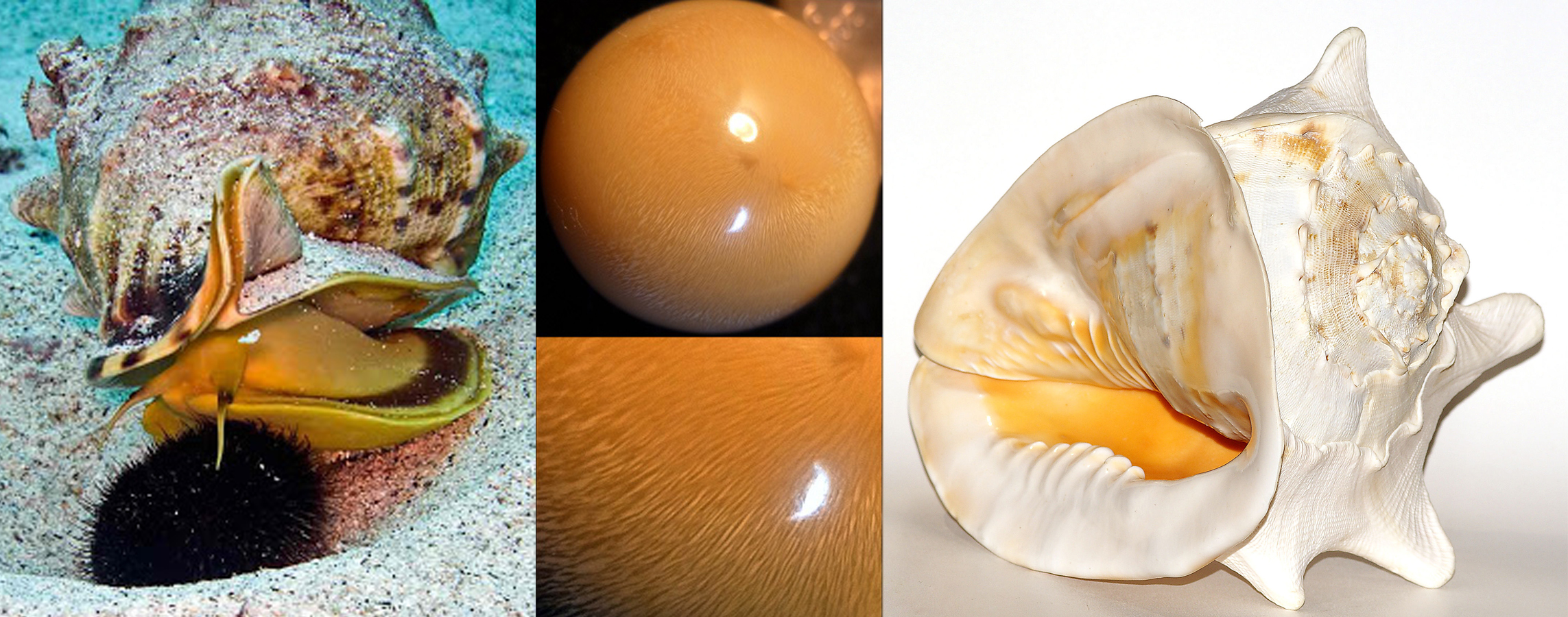 Cassis pearls are another of the rare, and very expensive species of gastropod formed pearls. Their atributions and color designations are very similar to that of the Melo pearl mentioned above, but tend to be less orange and more creamy or yellow, with clear fire in the nacre.