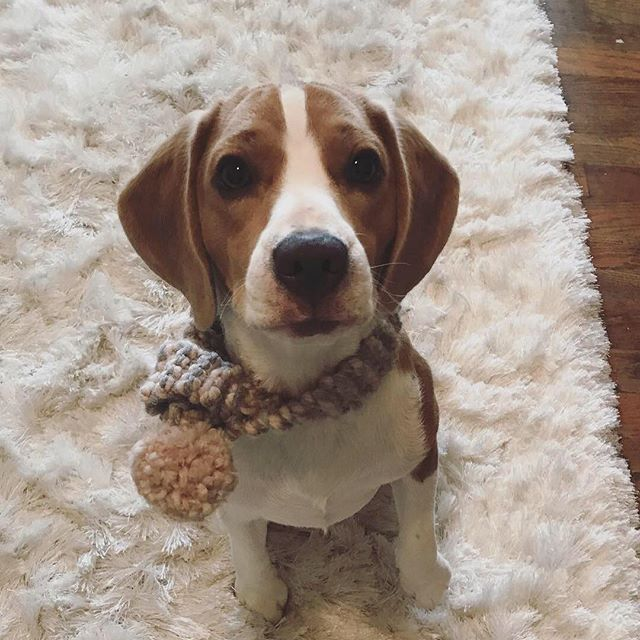 Hiraeth's resident pup @kingsleythebluetricolorbeagle is a proud #broughtonpuprecruit in his Christmas scarf 🐶🧣🎄 Thank you @broughtonandco