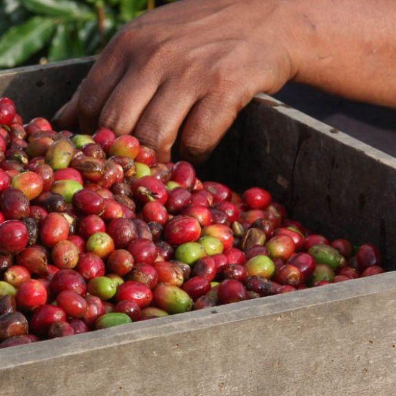 sumatra-lintong-nihuta-toba-coffee-5.jpg
