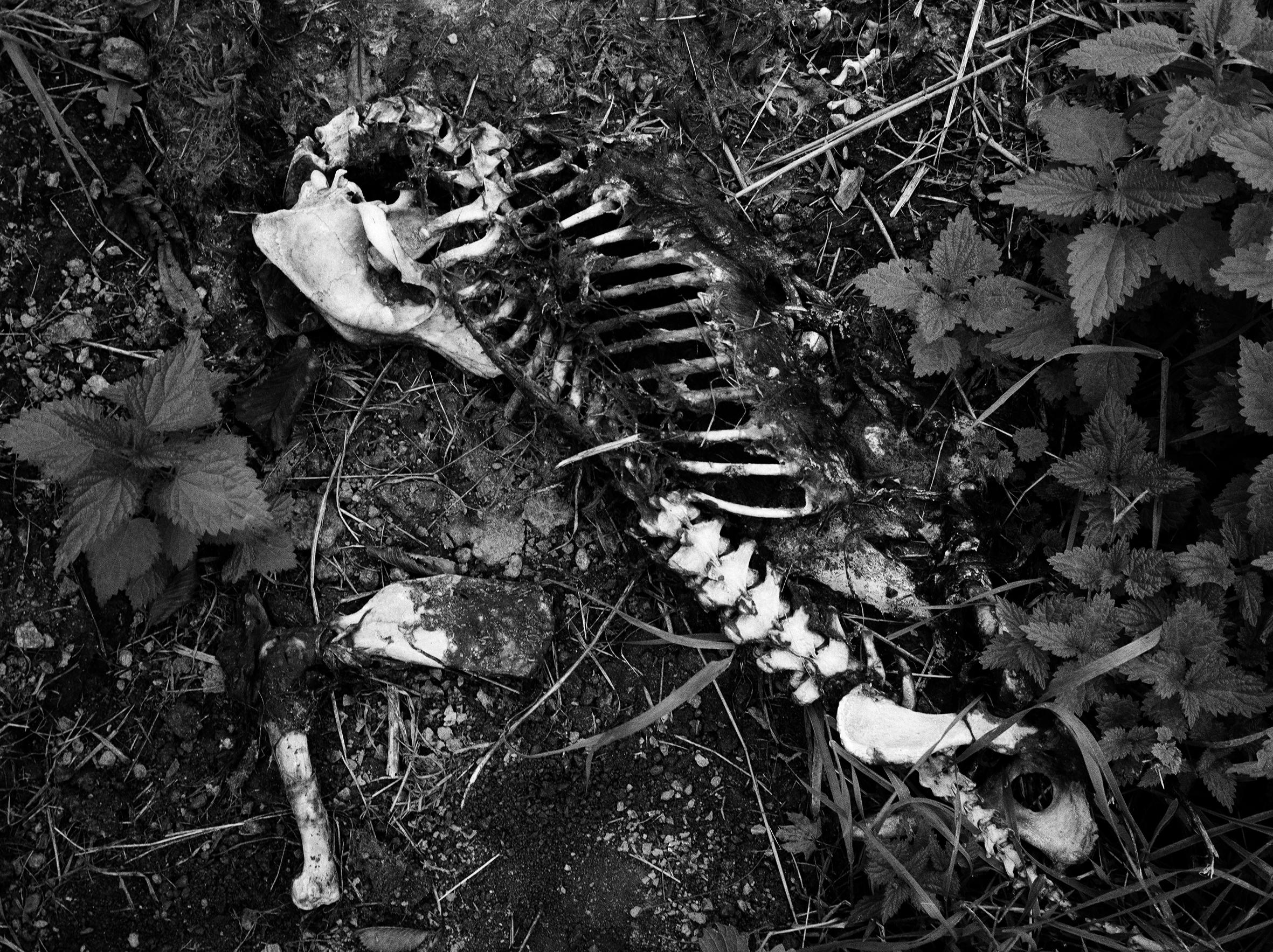 Deer_Skeleton.jpg