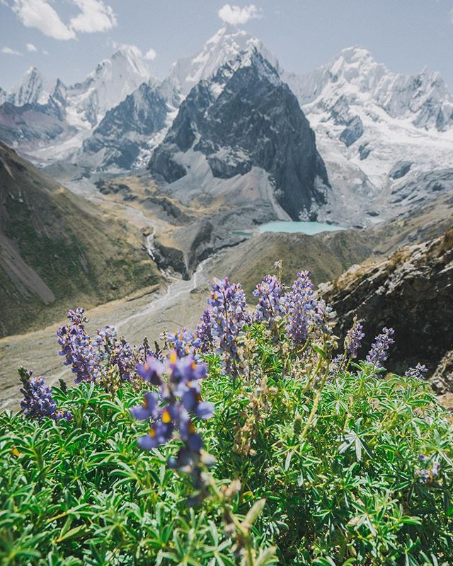 Fresh bloom in Peru. • • • • • #peru #cordillerahuayhuash #siulagrande #backpacking #backpacker #camping #hiking #backpackers #backpack #trekking #travelling #wilderness #globetrotter #travelblog #traveltheworld #bucketlist #outdoors #optoutside #traveller #instapassport #traveler #getoutside #rei1440project #hike #aroundtheworld #wildernessculture #welltravelled