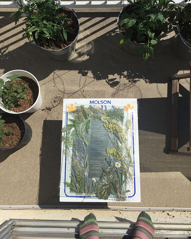 This 🌞 coming up to solstice is phenomenal for exposures. 🌱 Growing art with growing fruit.  #cyanotype