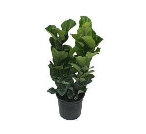 Lyrata Bush Fiddle-leaf Fig.jpg
