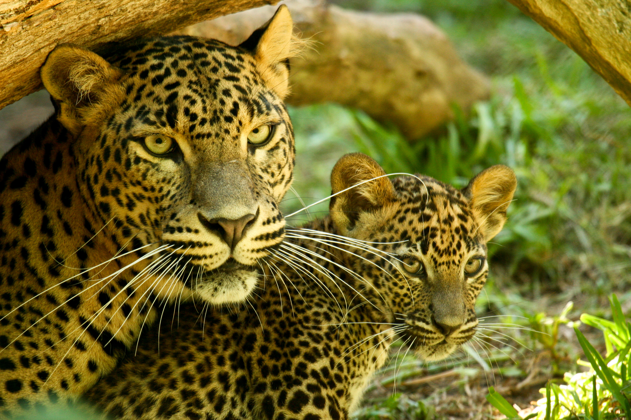 Trek wild leopard on a national park safari