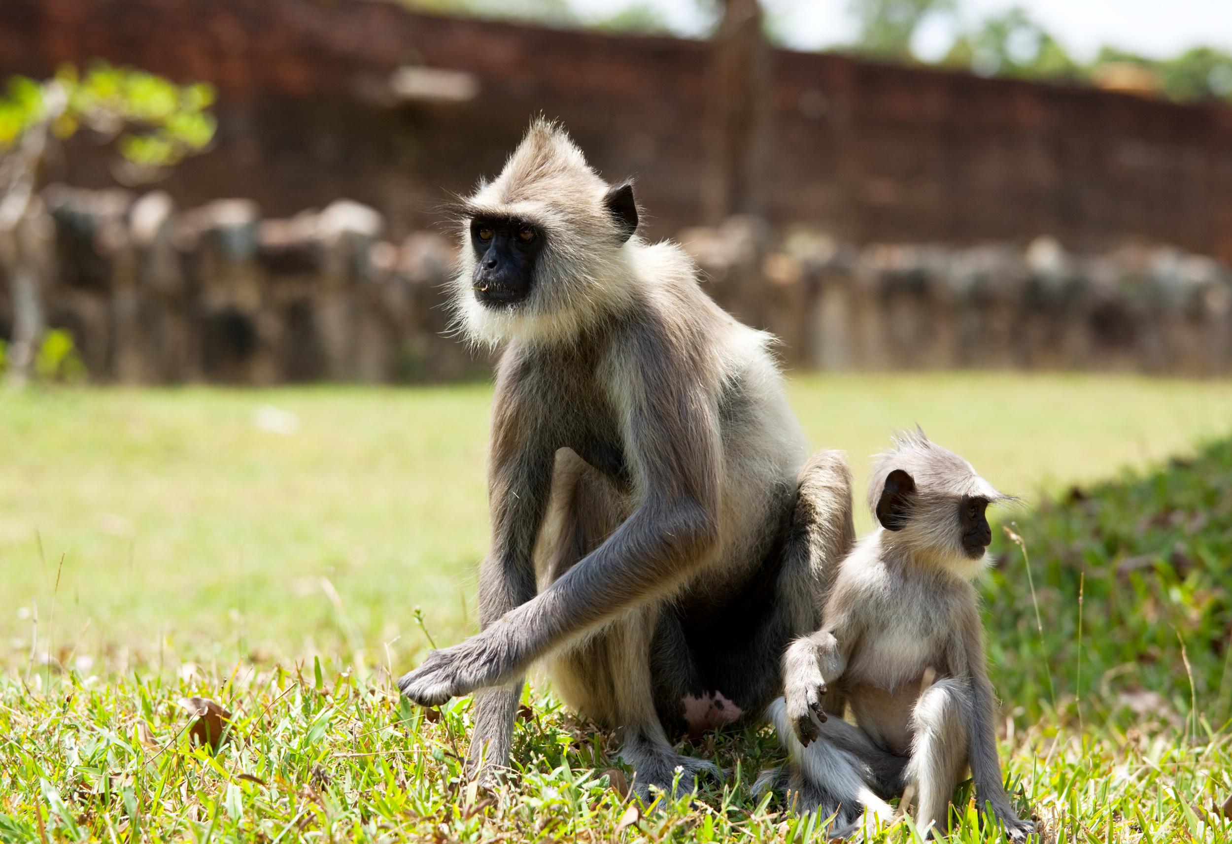 See Sri Lanka's cheeky monkeys