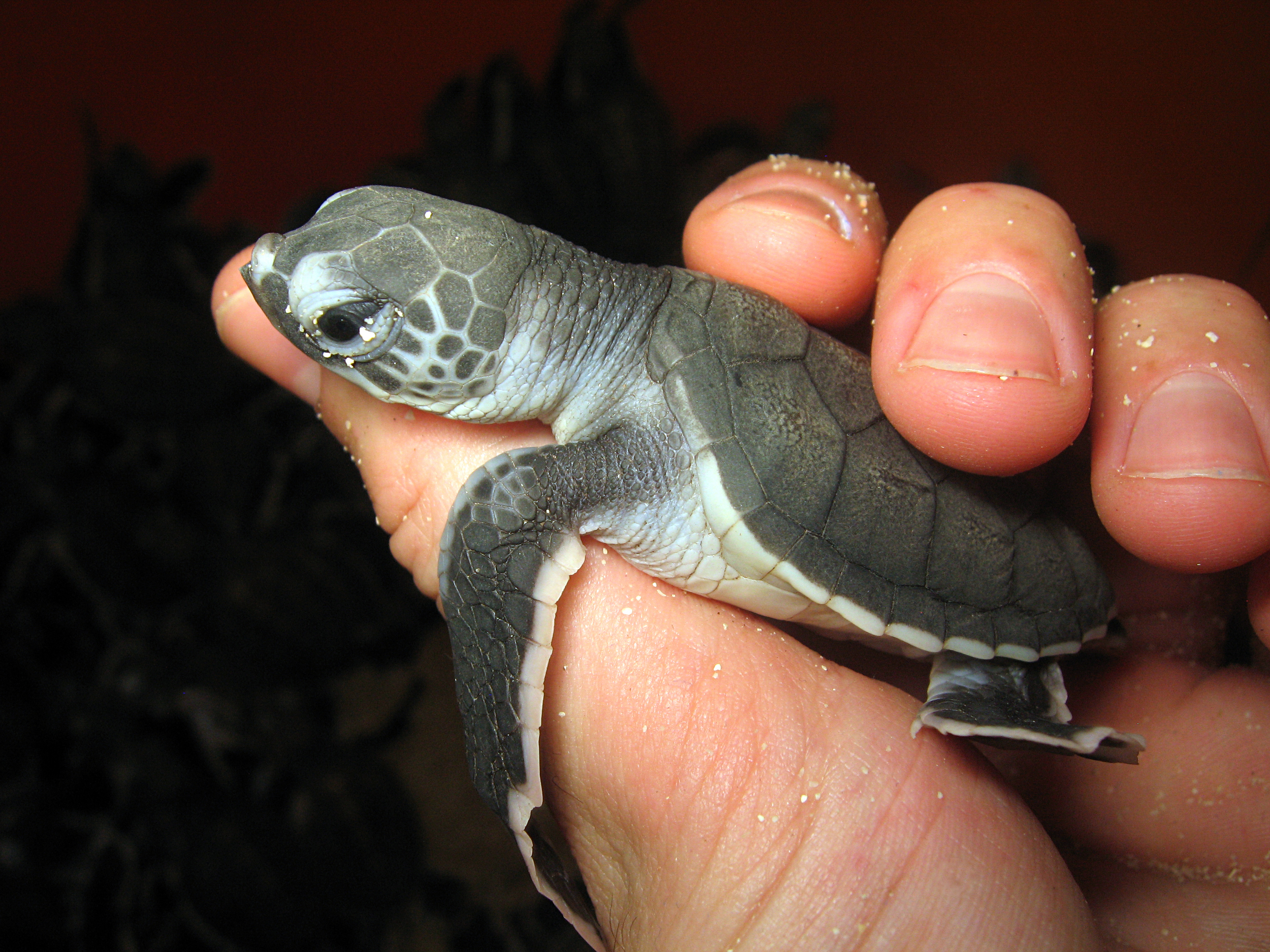 Hold baby turtles at a hatchery